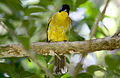 Black-headed Bulbul (Pycnonotus atriceps).JPG