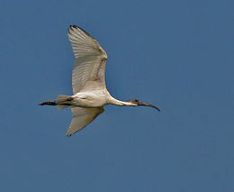 Black-headed Ibis (Threskiornis melanocephalus) in Uppalpadu, AP W IMG 2901.jpg