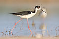Black-necked Stilt of Quintana Texas1.jpg