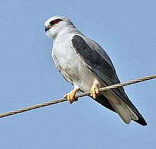 Black-shouldered Kite (Elanus caeruleus) in Kawal WS, AP W IMG 1681.jpg