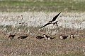 Black-winged Pratincole (Glareola nordmanni) (8079438884).jpg