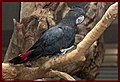 Black Cockatoo Cairns-3and (4200559867).jpg