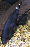 Black Ghost Knifefish 400.jpg