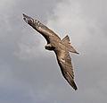 Black Kite 1a (6022405311).jpg