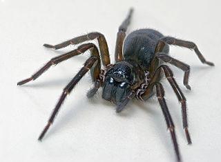 <i>Amaurobius ferox</i>