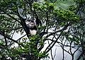 Black Snub-nosed Monkey - 47929168358.jpg