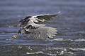 Black crowned night heron.BDT3470 01.jpg
