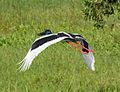 Black necked stork (Jabiru) in flight - Fogg Dam - Northern Territory - Australia.jpg