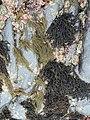 Black pine, Neorhodomela larix.jpg