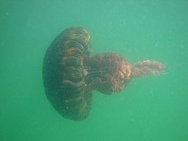 Black sea nettle in San Diego Bay 4.jpg