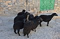 Black sheep-Al Hamra.jpg