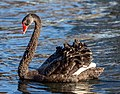 Black swan on Avon River, Christchurch, New Zealand 03.jpg