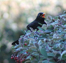 Blackbird in Madrid (Spain) 05.jpg