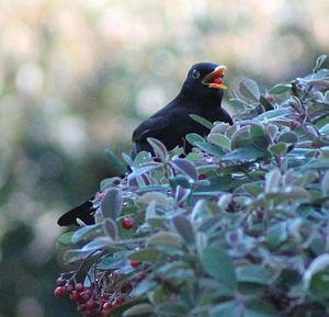 Blackbird in Madrid (Spain) 05.jpg