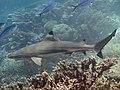 Blacktip reef shark (Carcharhinus melanopterus).jpg