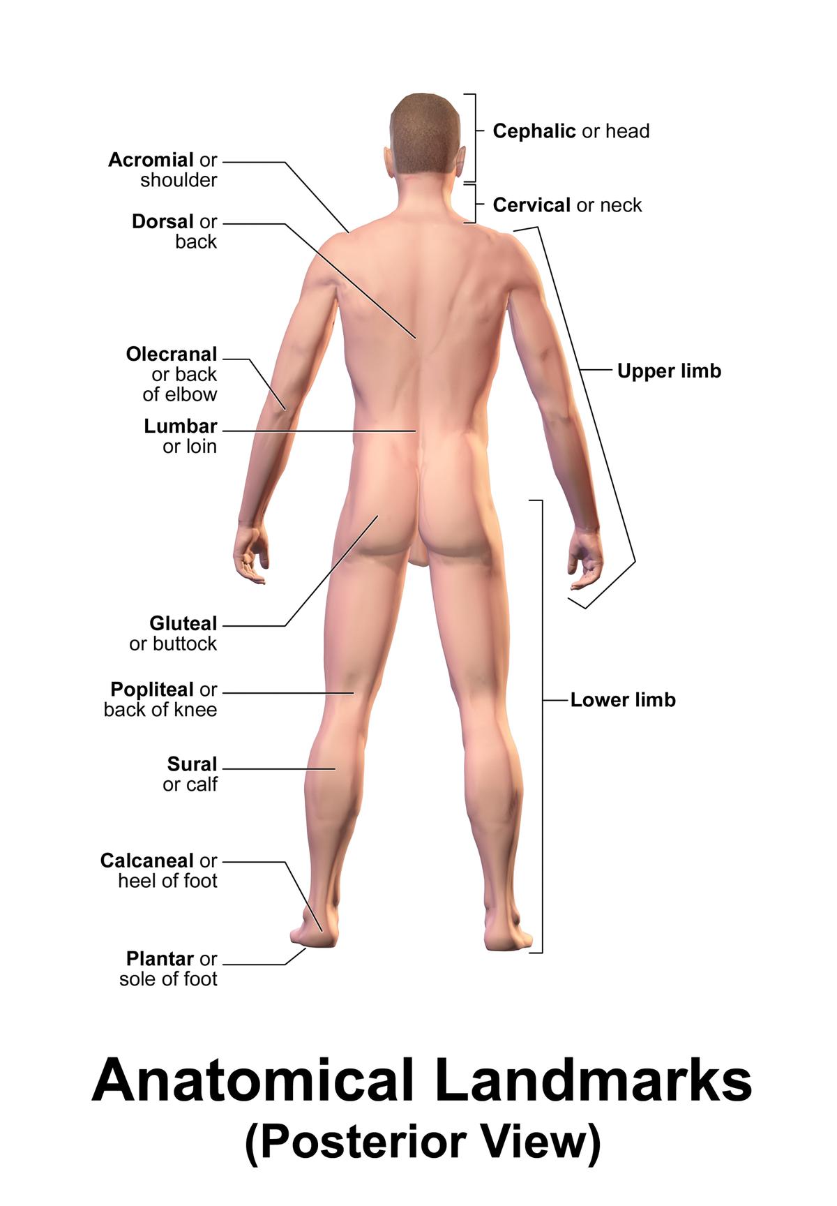 Ausgezeichnet Lenden Bilder - Menschliche Anatomie Bilder ...