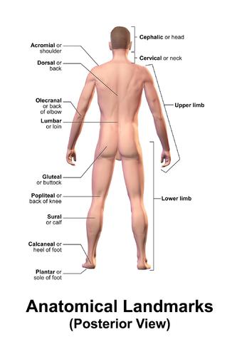 File:Blausen 0021 AnatomicalLandmarks Posterior.png - Wikimedia Commons