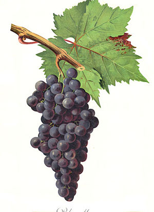 Bouteillan noir - Despite sharing several synonyms, Bouteillan noir has no known relationship to the Provençal wine grape Calitor (pictured).