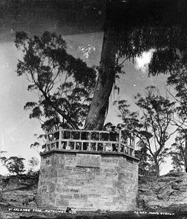Explorers tree Historic Blue Mountains ash