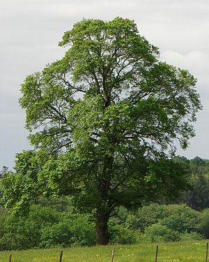 Ulmus minor - Field elm, Blismes, Nièvre, France.