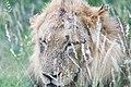 Bloody Lion (2271533989).jpg