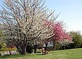 Blossom in Broadwell - geograph.org.uk - 1094409.jpg