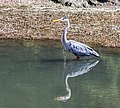 Blue Heron (25538142204).jpg