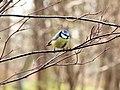 Blue Tit (Cyanistes caeruleus), Botanical Garden Berlin.jpg