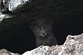 Blue fox on St Paul Island by Ryan Mong USFWS.jpg