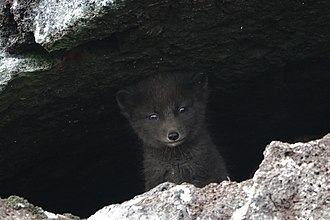 Arctic fox - Blue phase, Pribilof Islands