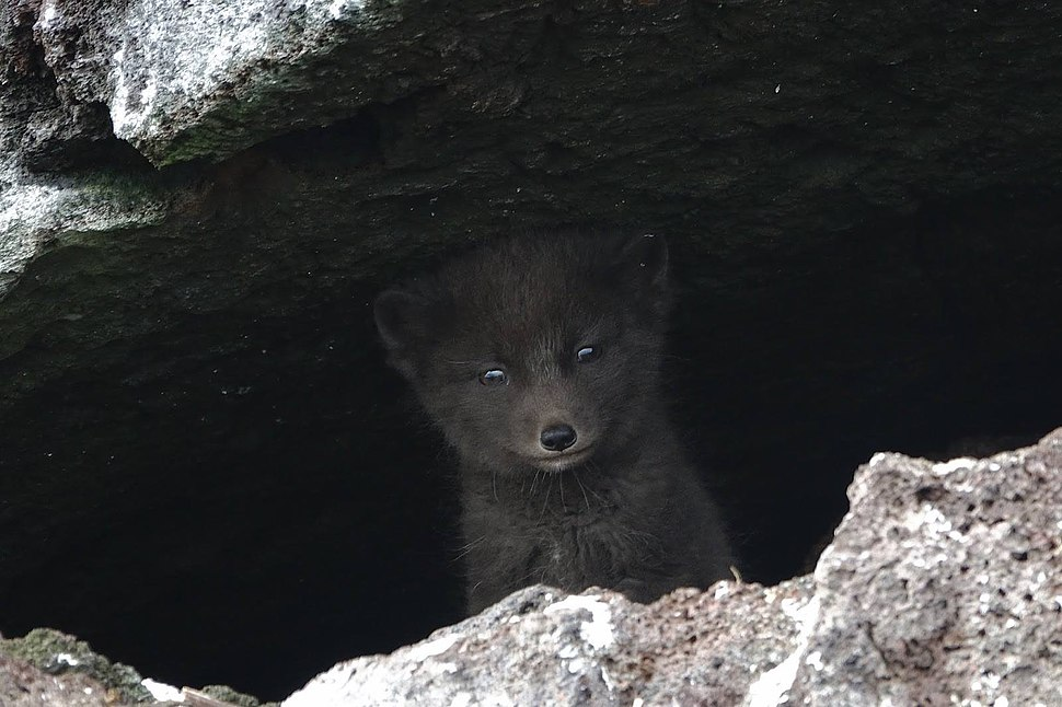 Blue fox on St Paul Island by Ryan Mong USFWS