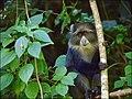 Blue monkey (Cercopithecus mitis), Arusha National Park 2015 - 2015-01-10 - 02-26-26.jpg