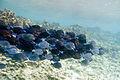 Blue tang Acanthurus coeruleus (4681008966).jpg