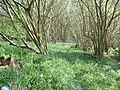 Bluebells in Hill House Wood - geograph.org.uk - 259894.jpg