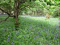 Bluebells in Woodland - geograph.org.uk - 1331883.jpg
