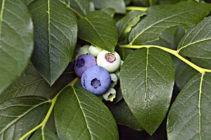 English: Blueberries on branch.