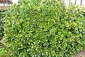 Blueberry bush - Jardim Botânico da Universidade de Coimbra - Coimbra, Portugal - DSC08802.jpg