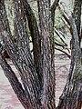 Bolusanthus speciosus stem.jpg