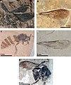 Bombini (10.3897-zookeys.891.36027) Figure 2.jpg