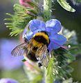 Bombus hortorum queen - Echium vulgare - Keila.jpg