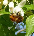 Bombus pascuorum - Flickr - gailhampshire (7).jpg