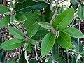 Bonamia menziesii (5341274611).jpg