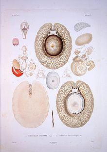 Bonite-mollusques-pl27.jpg