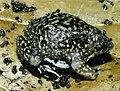 Bonn zoological bulletin - Hemisus guineensis.jpg