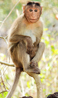 Macaque Genus of Old World monkeys