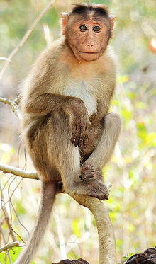 Macaque monkey Bonnet macaque