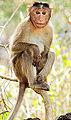 Bonnet macaque (Macaca radiata) Photograph By Shantanu Kuveskar.jpg