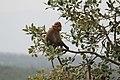 Bonnet macaque 03.jpg