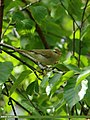 Booted Warbler (Iduna caligata) (20145140112).jpg