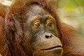 Bornean orangutan (Pongo pygmaeus), Tanjung Putting National Park 13.jpg